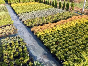 Krzewy iglaste - produkcja