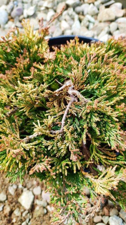 Jałoweic Golden Carpet (2)