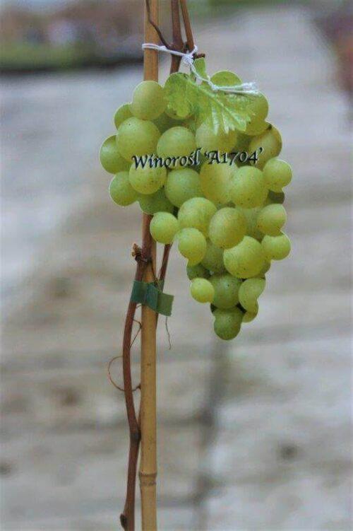 Winorośl A1704