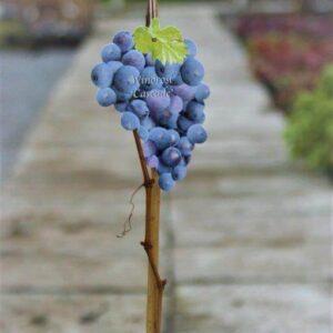 Winorośl Cascade