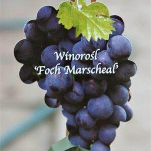 Winorośl Foch Marscheal