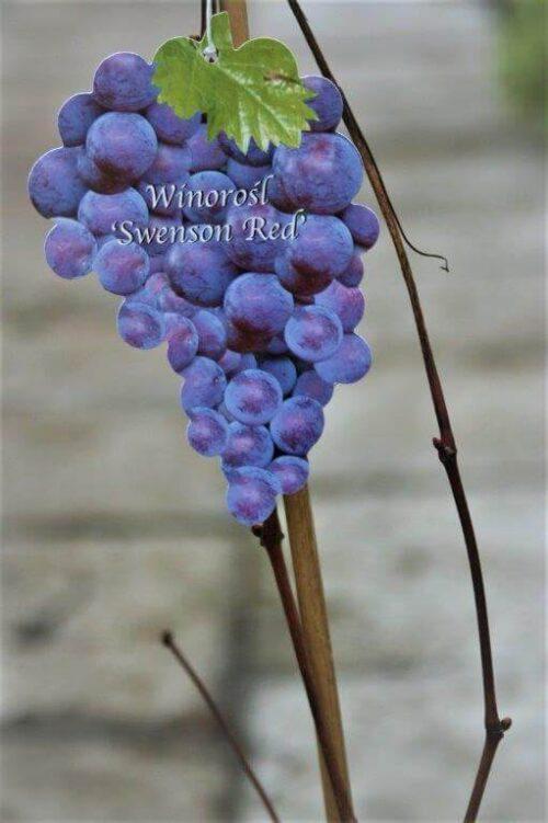 Winorośl Swenson Red