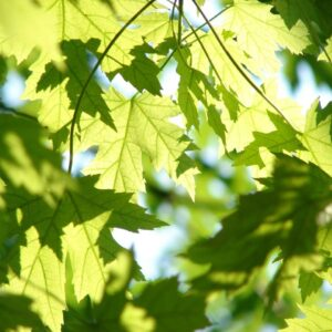Drzewa liściaste
